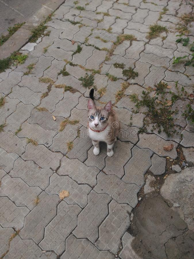 Meine blauen Augen der süßen Katze stockfoto