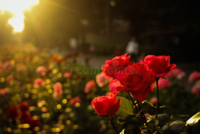 Meine roten Rosen lizenzfreie stockfotografie