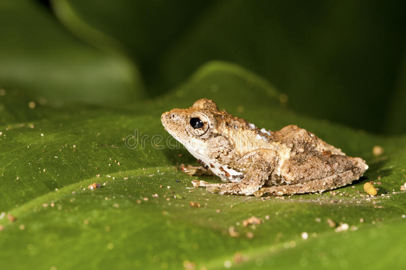Download Meintein Tree Frog stock image. Image of horizontal, forest - 21141003