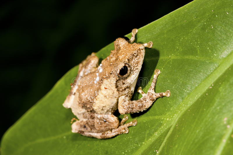 Meintein Tree Frog Royalty Free Stock Images