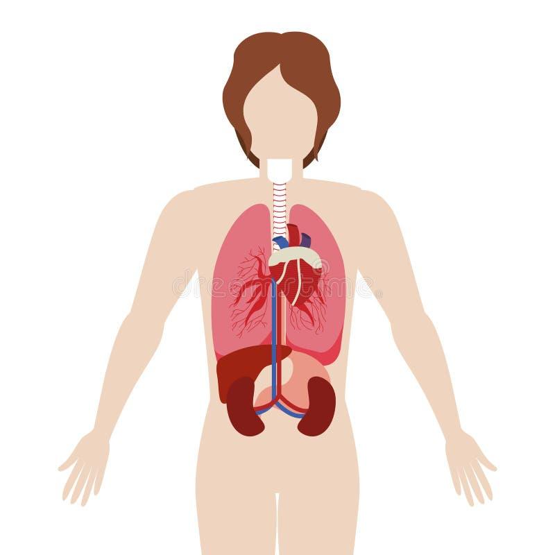 Meio corpo do homem do corpo com órgãos internos ilustração royalty free