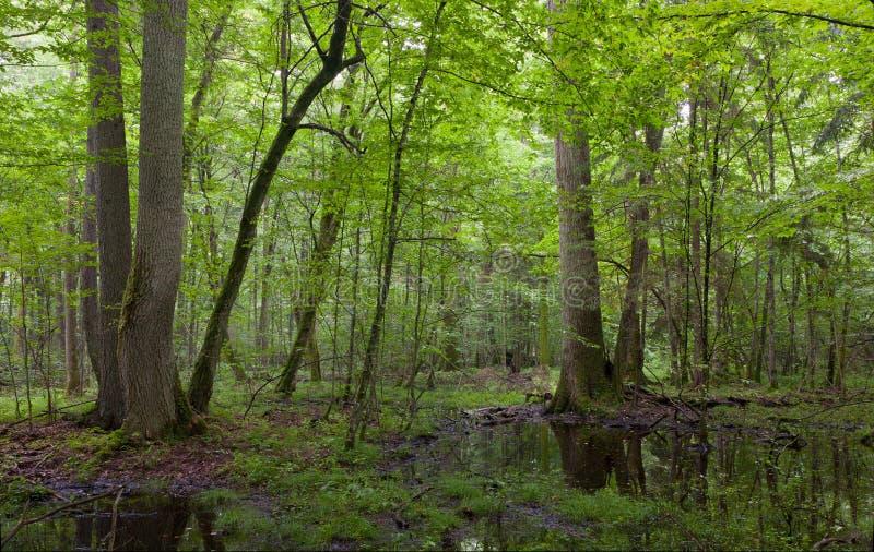 Meio-dia do verão no carrinho molhado da floresta de Bialowieza imagens de stock royalty free
