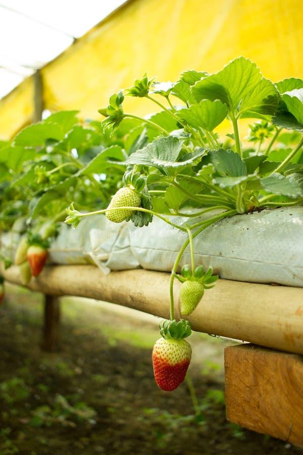 Meio Strawberrie vermelho parcialmente verde fotos de stock royalty free