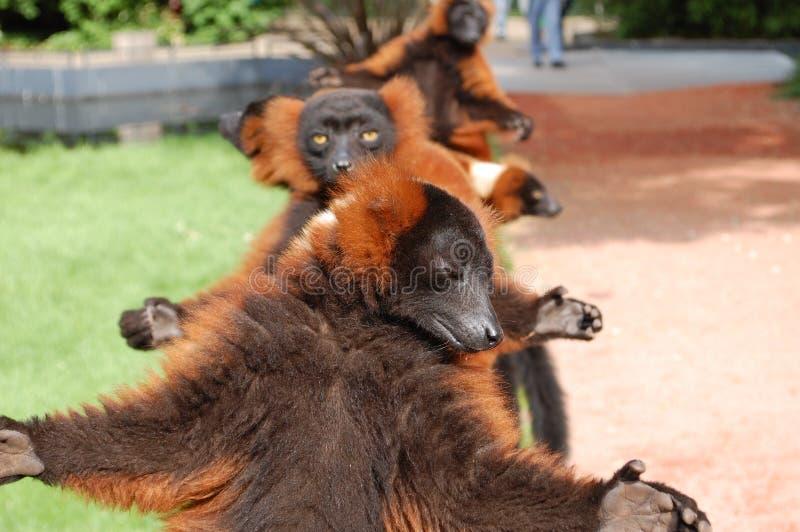 meios macacos doces no jardim zoológico   foto de stock royalty free