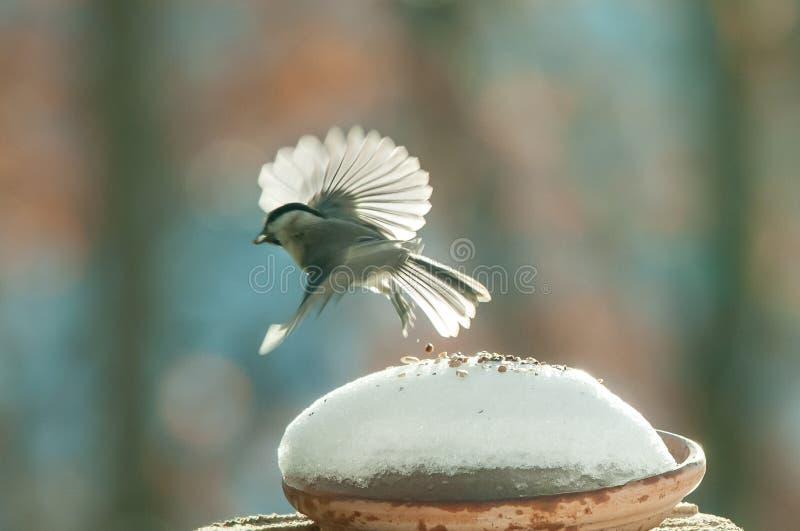Meise im Flug im Schnee lizenzfreies stockfoto