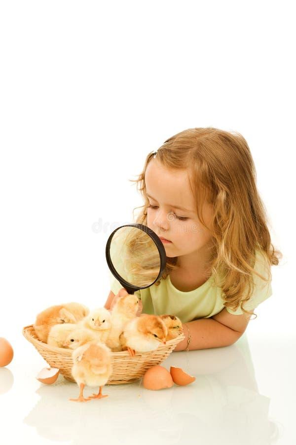 Meisje dat een mandvol van kuikens bestudeert royalty-vrije stock fotografie