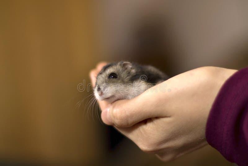 Meisje die een uiterst kleine, mooie hamster houden royalty-vrije stock afbeeldingen
