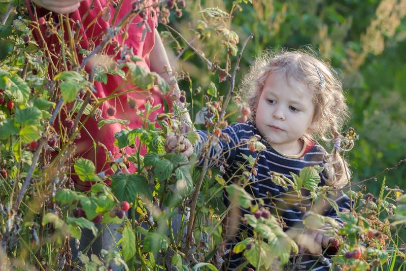 Meisje die lokale geproduceerde organische frambozenvruchten van groene tuinstruik oogsten royalty-vrije stock afbeeldingen