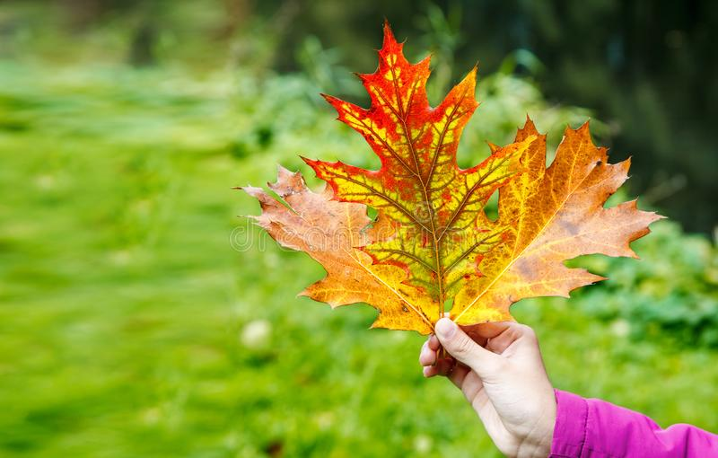 Meisje die multicolored de herfstbladeren houden royalty-vrije stock afbeelding