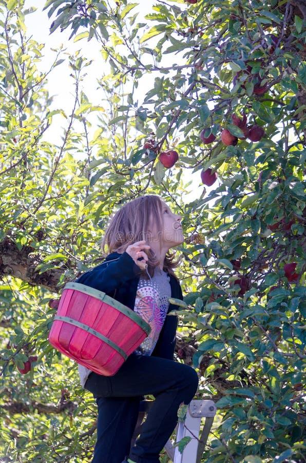 Meisje die op ladder de appelen van Michigan plukken stock foto's
