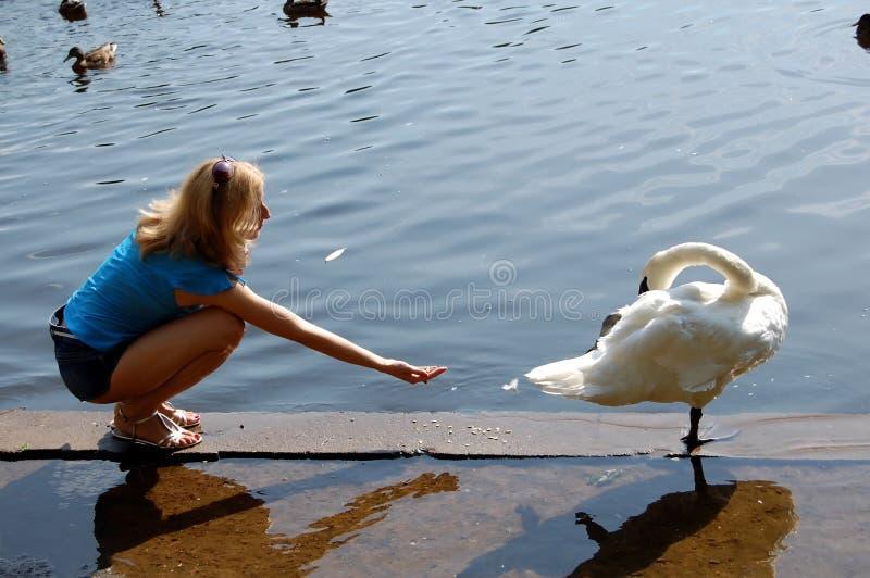 Meisje het voeden zwaan stock afbeelding