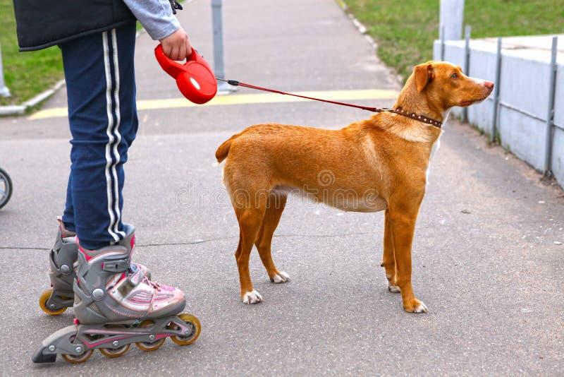 Meisje rollerskating die de hond in het park lopen stock afbeeldingen