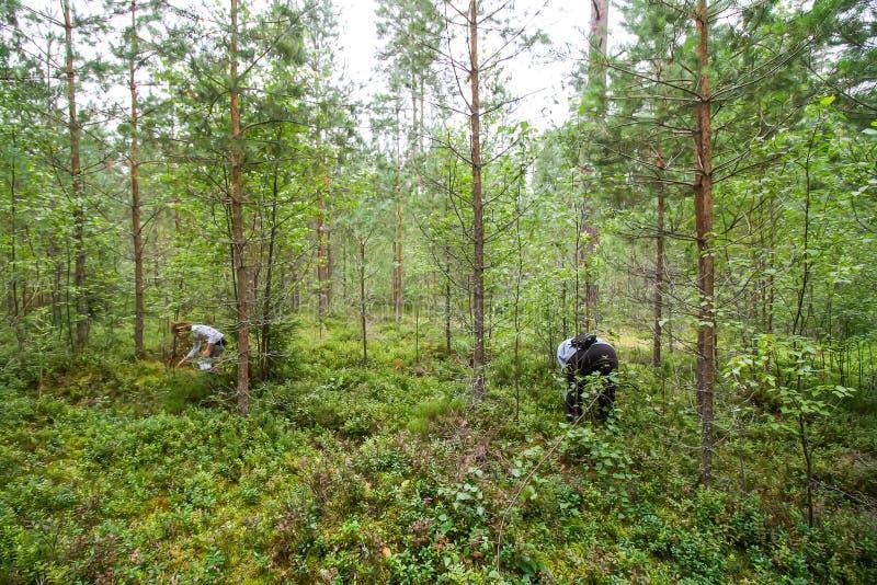 Meisjes die bosbessen in de zomerbos plukken stock afbeelding