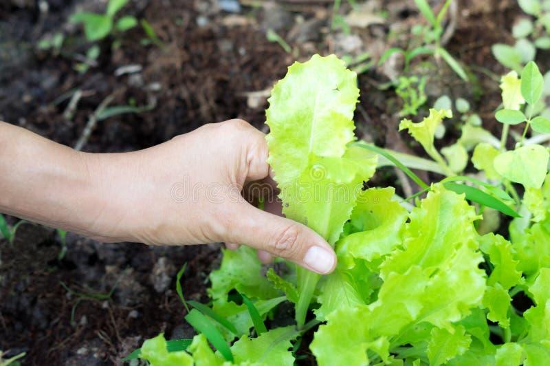 Meisjeshand die plantaardige in hand, landbouwbedrijf het oogsten concept houdt stock foto's