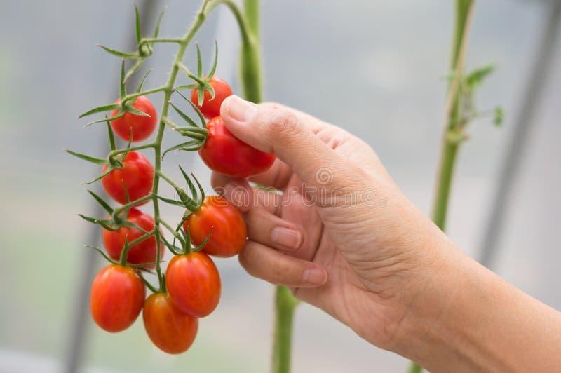 Meisjeshand wat betreft tomatenbos stock foto