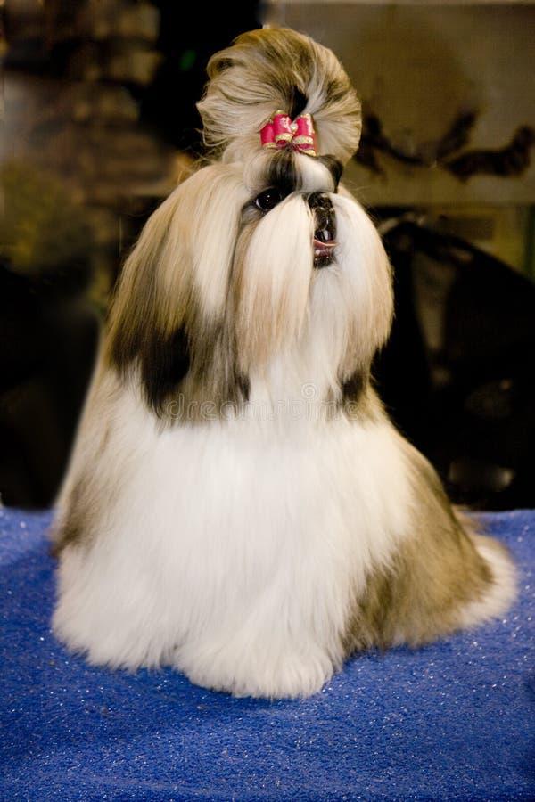 Meistererscheinenhund stockfotos