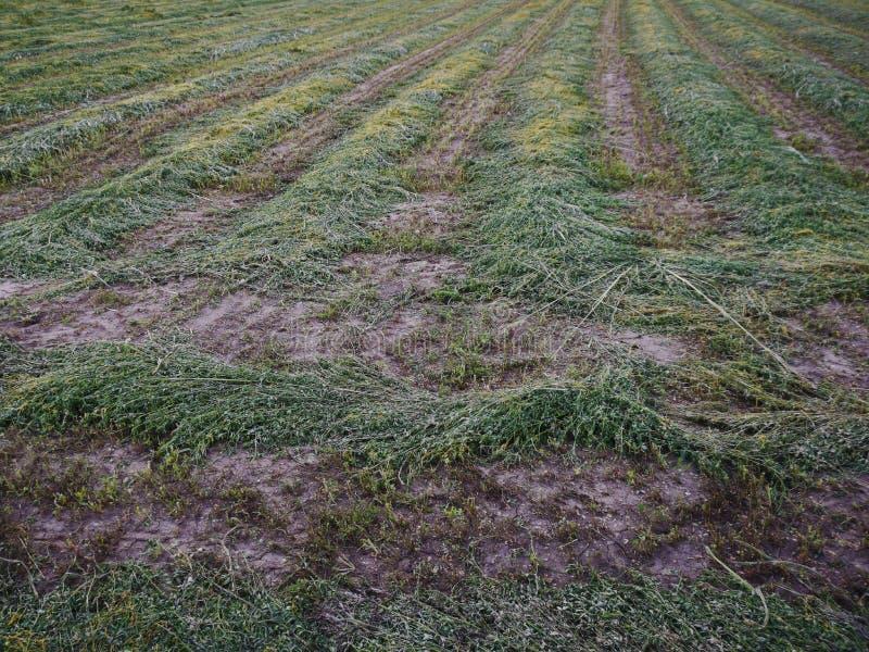 Mejat fält av alfalfa royaltyfri bild
