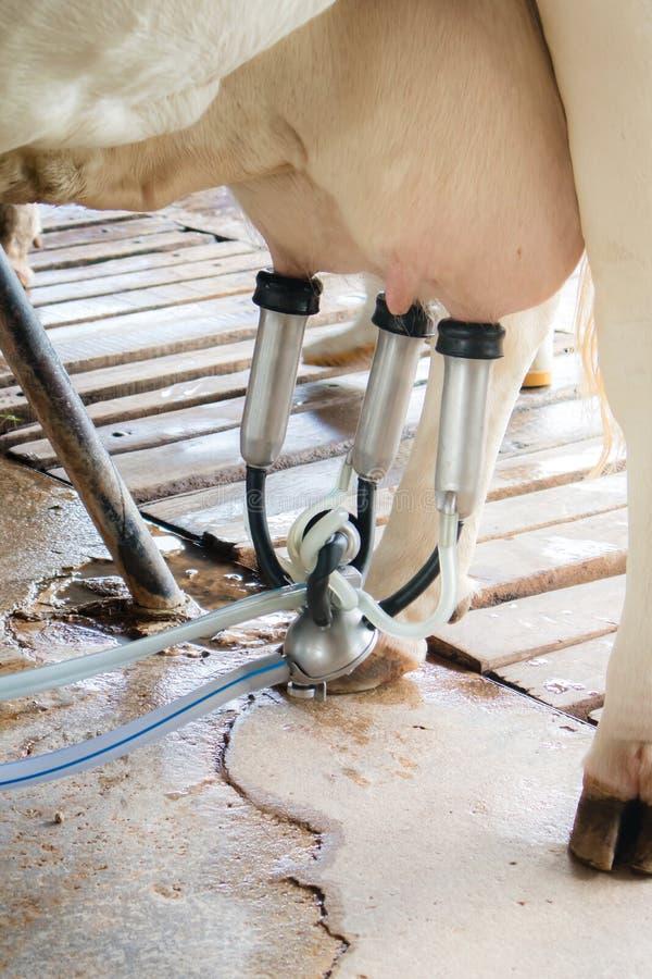 Mejerinötkreatur som brukar och att mjölka en ko fotografering för bildbyråer