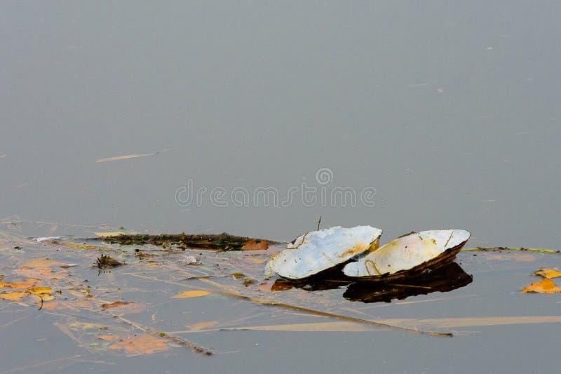 Mejillón flotante del cisne imagen de archivo libre de regalías