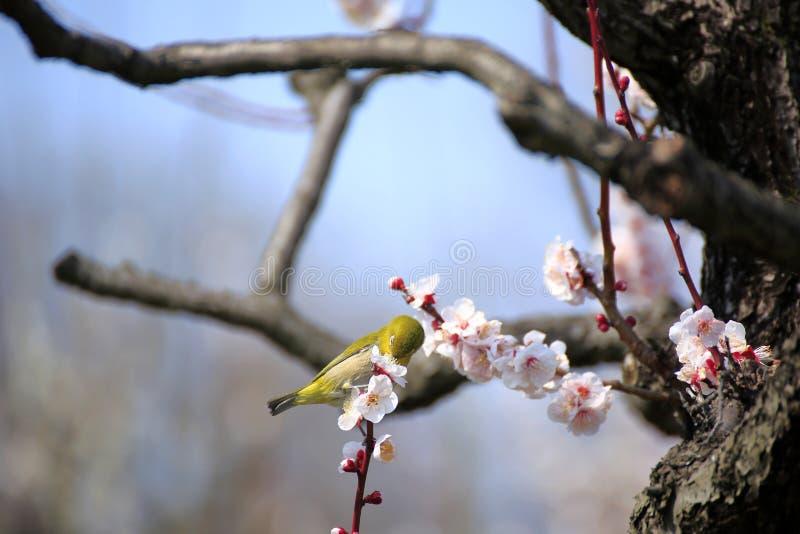 Mejiro su un ramoscello dell'albicocca giapponese fotografia stock libera da diritti