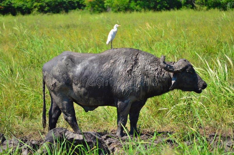 Mejores amigos del búfalo del pájaro y de agua imágenes de archivo libres de regalías