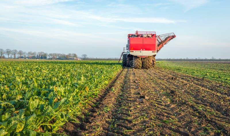 Mekaniserad plockning av sockerbetor i ett holländskt fält royaltyfri bild