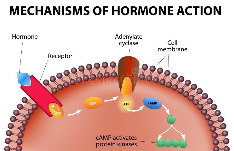 Mekanism av hormonhandling stock illustrationer