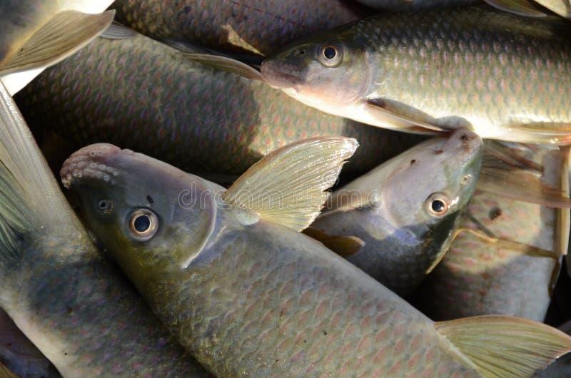 Mekhong River Fishes royalty free stock image