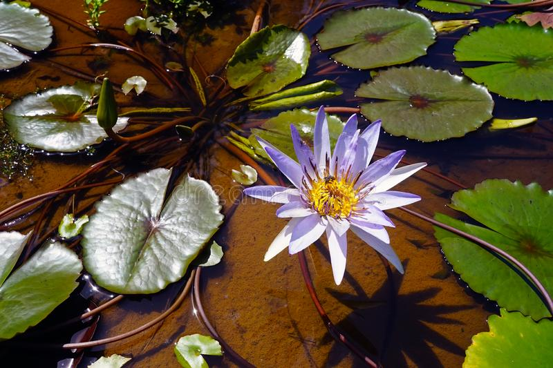 Water flower and lily pads on the Mekong River near Don Det in Laos royalty free stock images