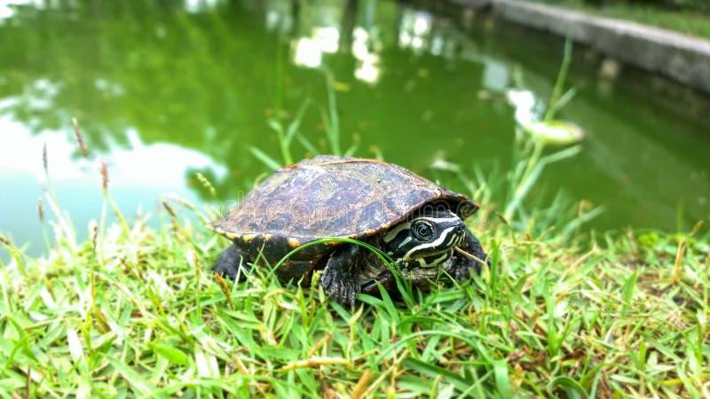 Mekong-Schnecke-Essenschildkröte lizenzfreie stockbilder