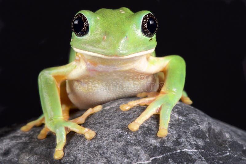 Meksykańska liść żaba, Pachymedusa dacnicolor obraz royalty free