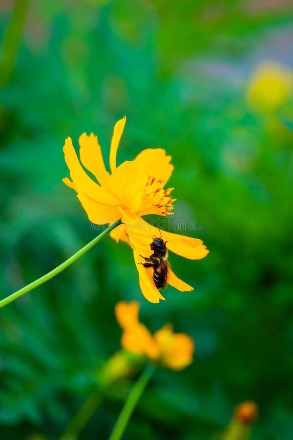 Meksykański aster, Żółty kosmos siarki kwiat i pszczoła/ obraz stock