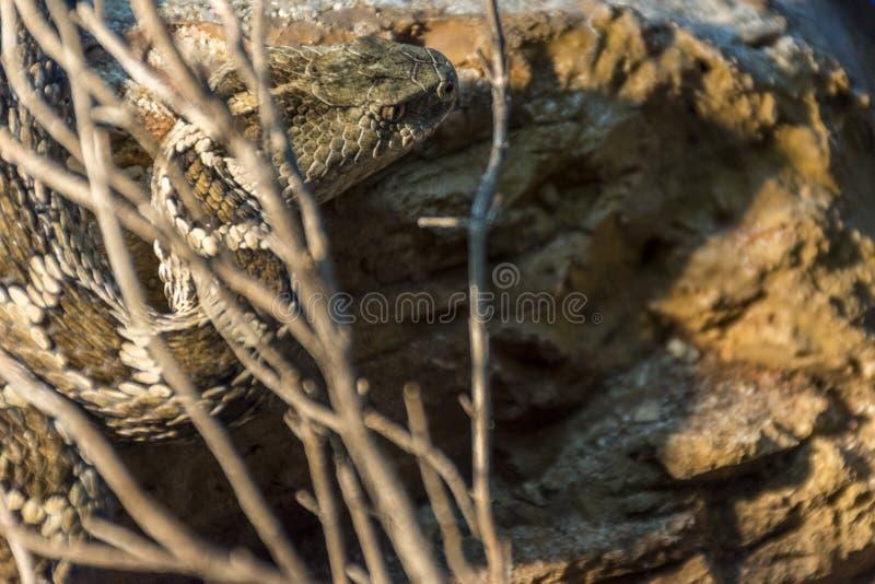 Meksykański Pigmejowy grzechotnik, grzechotnik zdjęcie royalty free