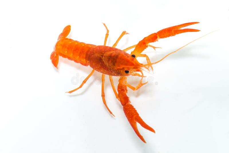 Meksykański Pomarańczowy Rakowy zdjęcia stock