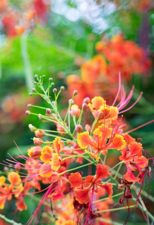 Meksykański ptak raju kwiat, pawia grzebień, Caesalpinia pulc fotografia stock