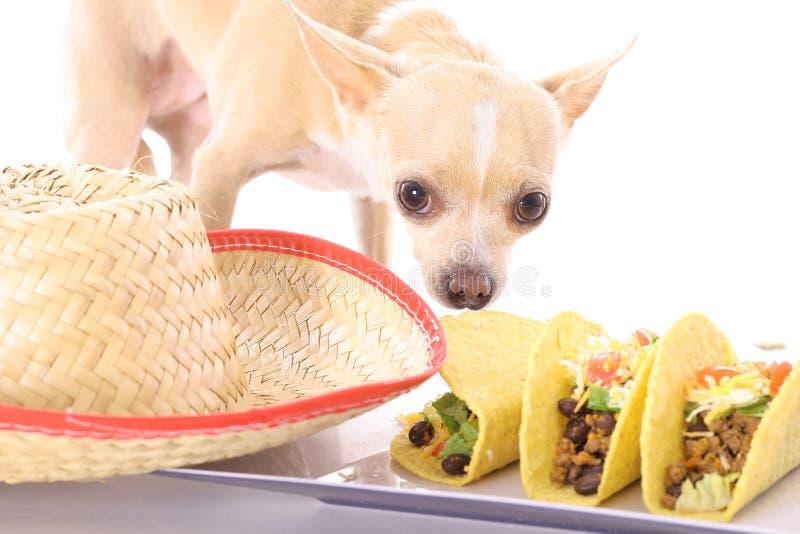 meksykanin chihuahua zdjęcia stock