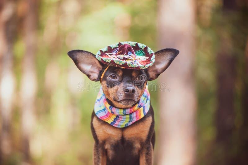 Meksykanina pies w sombrero i bandażu na naturalnym tle obraz stock