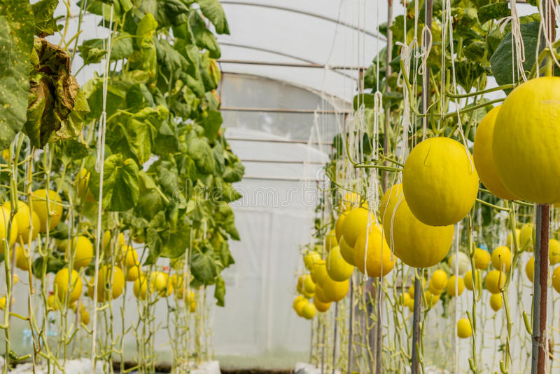Melão amarelo do cantalupo que cresce em uma estufa fotografia de stock