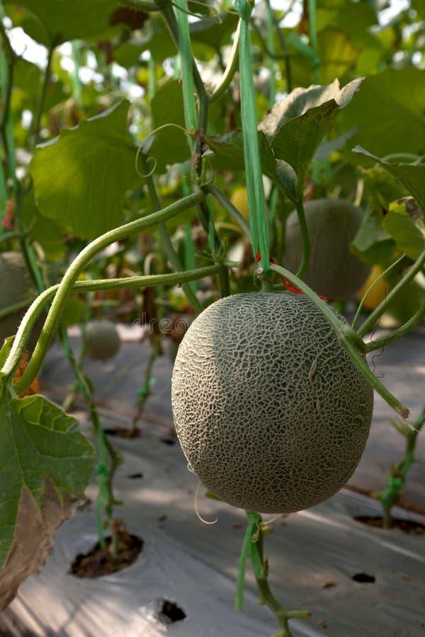 Melão da exploração agrícola 2 imagens de stock royalty free