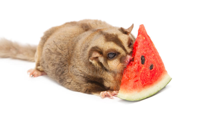 Melão eatting do açúcar-planador gordo foto de stock