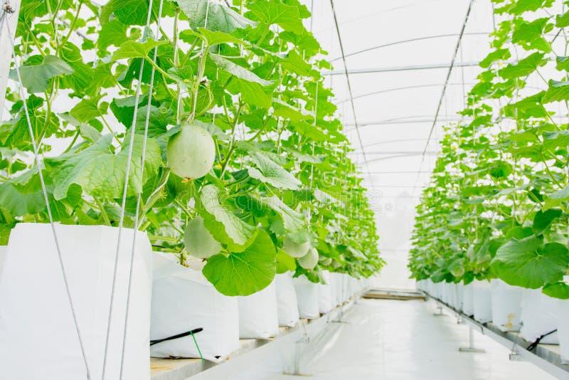 Melão ou cantalupo verde novo que crescem na estufa imagens de stock royalty free