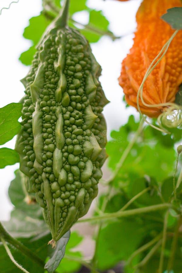 Melão ou momordica amargo verde e amarelo com folha em um fim do arbusto acima fotografia de stock royalty free