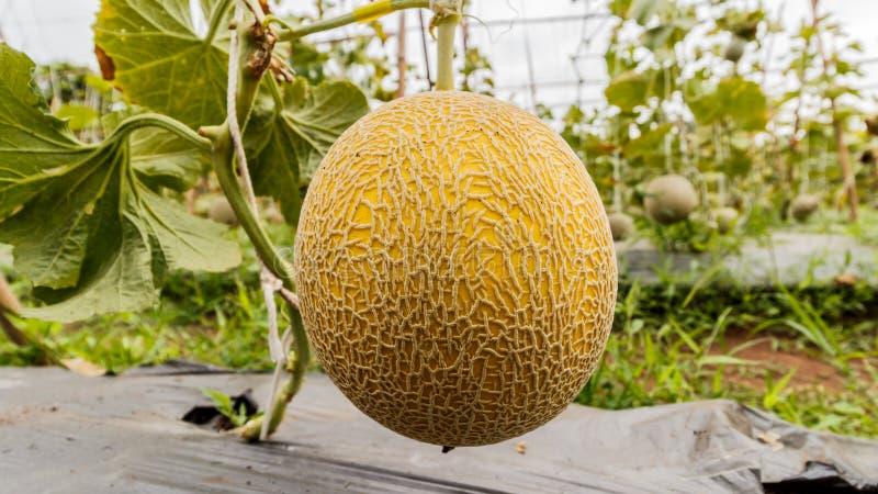 Melón amarillo del cantalupo que crece en un invernadero foto de archivo libre de regalías