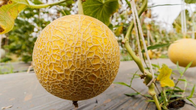 Melón amarillo del cantalupo que crece en un invernadero imágenes de archivo libres de regalías