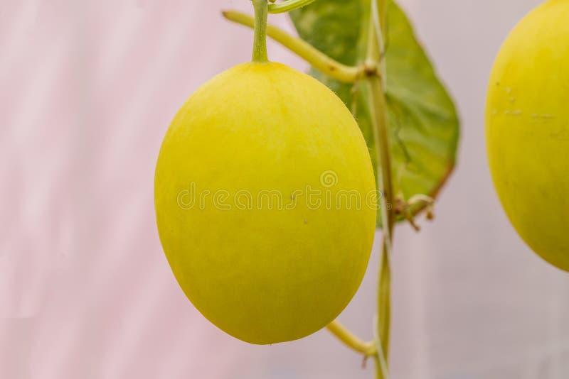 Melón amarillo del cantalupo que crece en un invernadero imagen de archivo