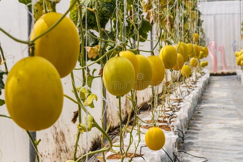 Melón amarillo del cantalupo que crece en un invernadero imagenes de archivo