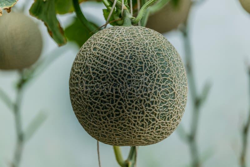 Melón fresco del cantalupo en árbol Foco selectivo fotos de archivo libres de regalías