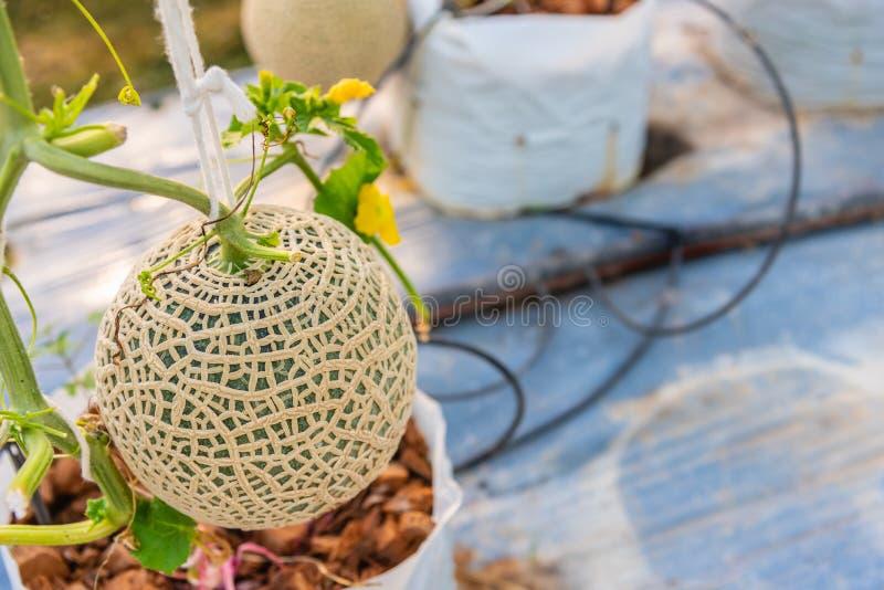 Melón verde fresco o melón del cantalupo en la plantación orgánica de la granja del melón fotos de archivo libres de regalías