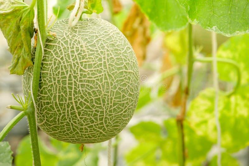 Melões do cantalupo que crescem em uma estufa apoiada por redes do melão da corda fotos de stock
