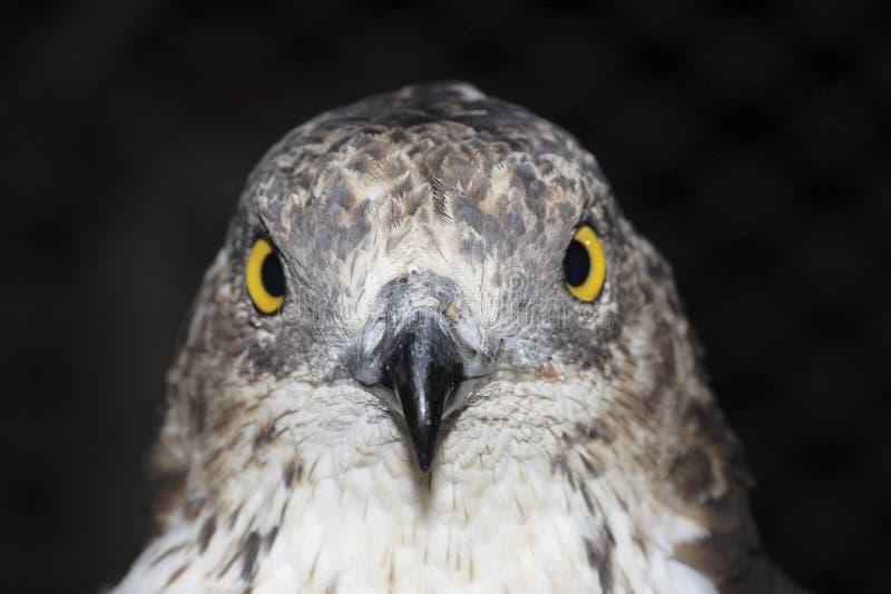 Mel-buzzard europeu (Pernis Apivorus) imagem de stock royalty free